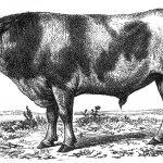 Andreas Tang var medarrangør af Vestjyllands første dyrskue, der blev holdt i Ulfborg i 1832. Tanken med dyrskuet var at motivere bønderne til at opretholde kvaliteten i den gamle jyske kvægrace, som var guldet i den vestjyske landbrugsøkonomi. Motivationen skulle bl.a. fremmes ved at præmiere de bedste eksemplarer af racen på dyrskuet. Tang gjorde generelt en stor indsats for at udbrede kendskabet til den kødfulde kvægrace i ind- og udland. Hans ønske var at øge eksporten af vestjyske stude. Den treårige tyr på billedet havde Tang med til Paris i 1856, hvor den deltog i en international kvægudstilling. Kobberstik efter daguerreotypi gengivet i Prosch 1861-63. 3. afd.